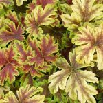 Fern Perennials